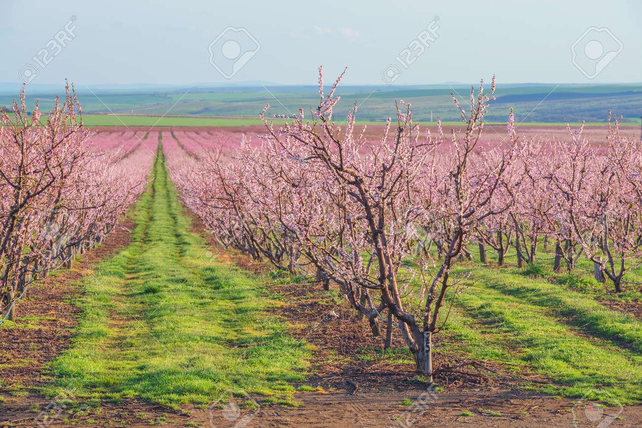 peach garden in blossom time - 56475374