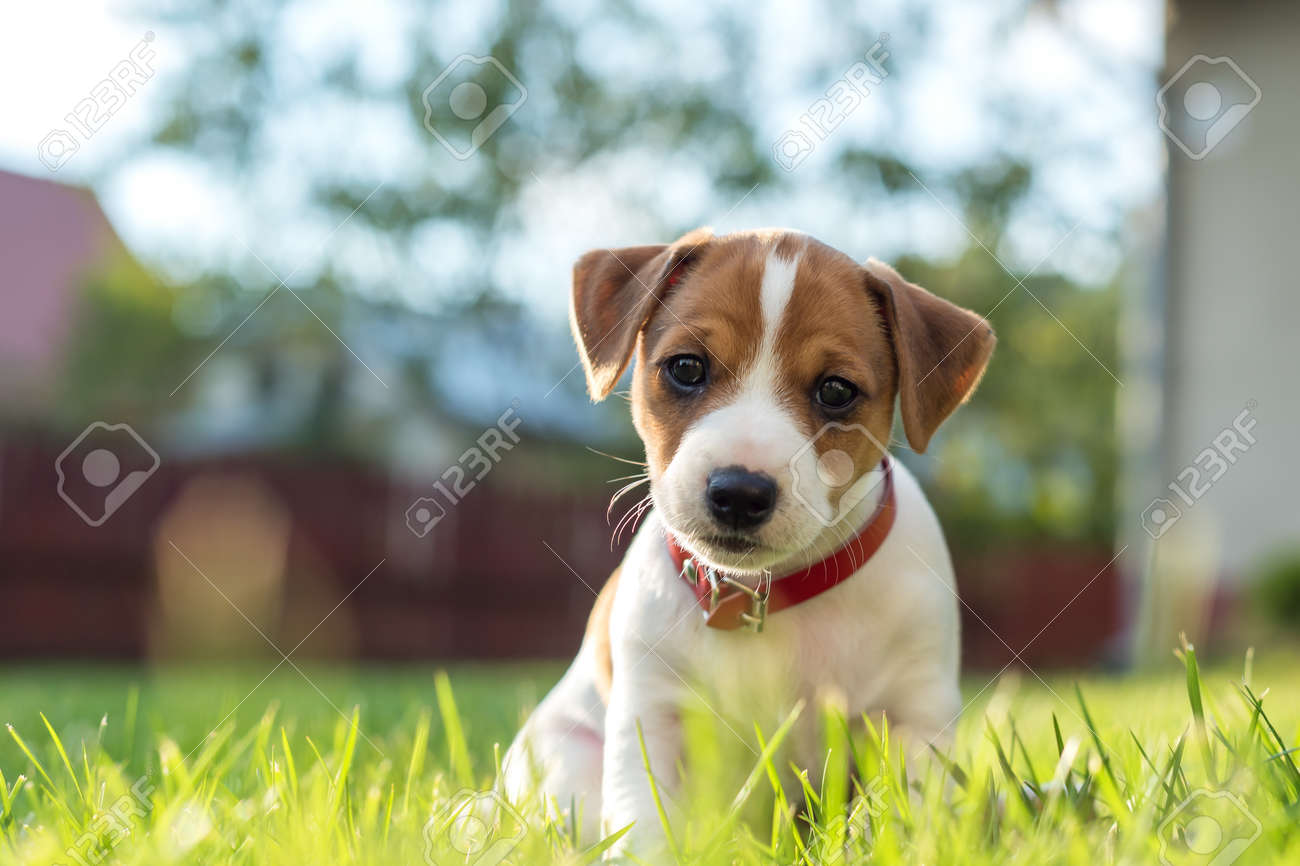 jack russel puppy on green lawn Standard-Bild - 64391601