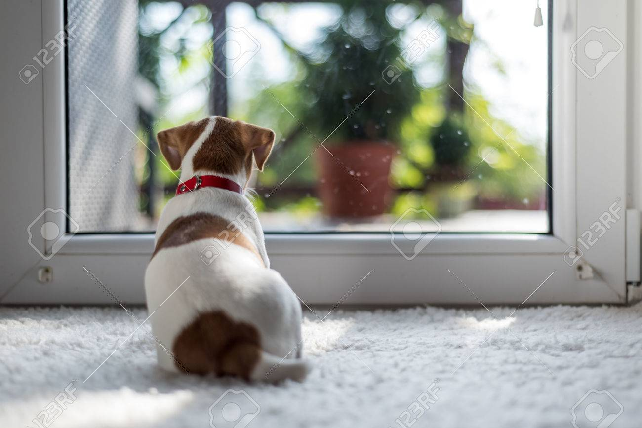 jack russel puppy on white carpet Standard-Bild - 64392029