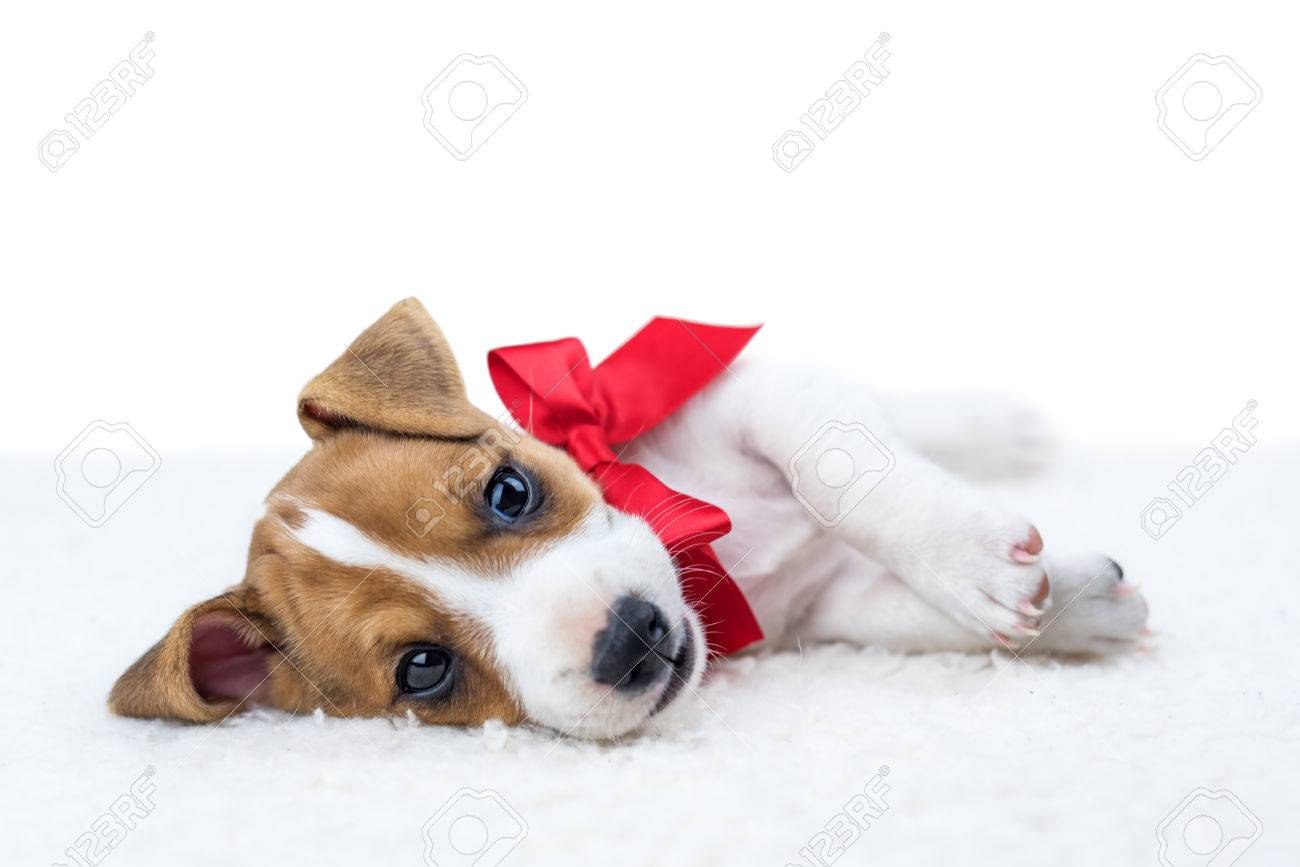 jack russel puppy with red ribbon - 64387269