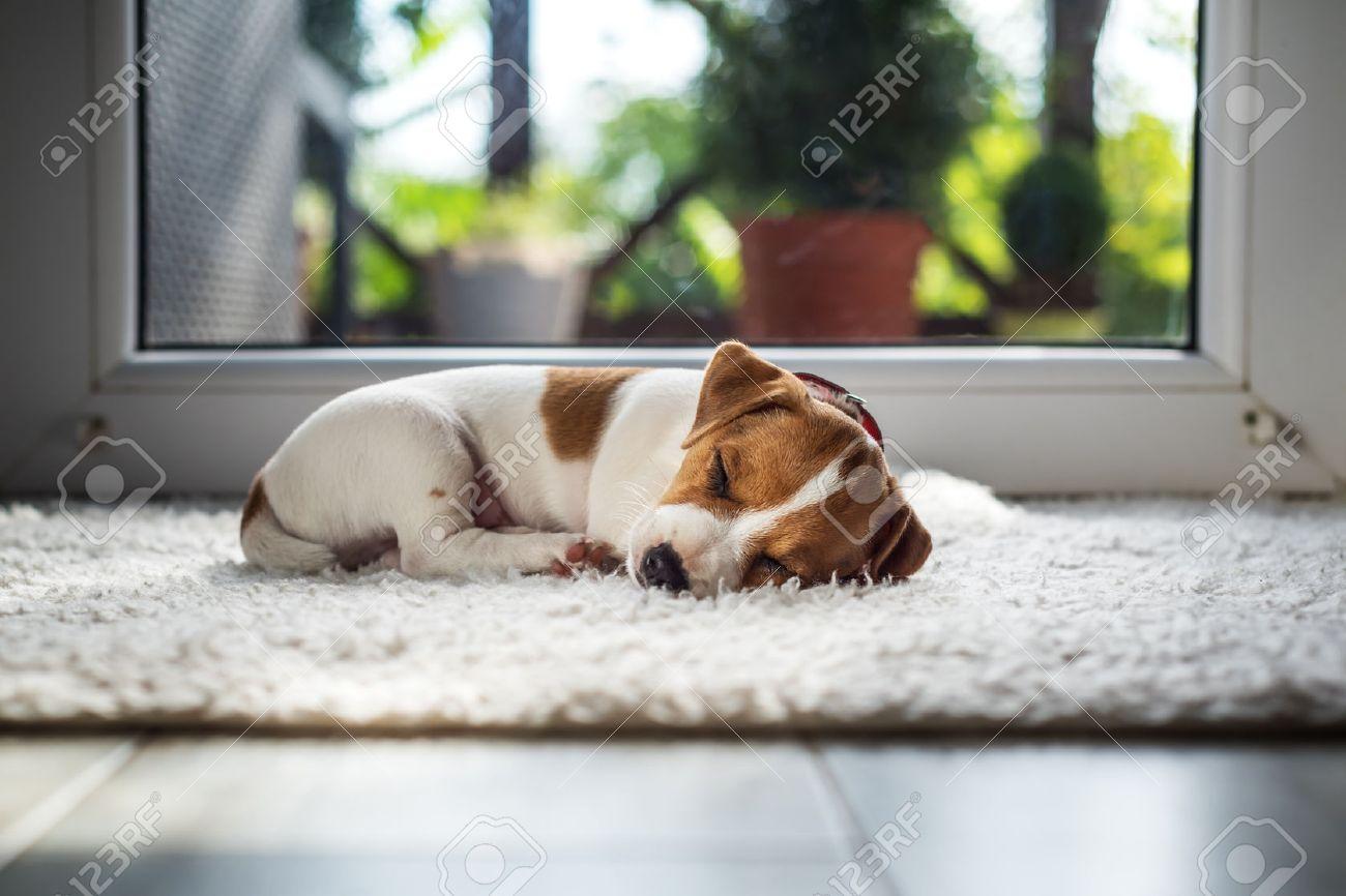 jack russel puppy on white carpet Standard-Bild - 67650272