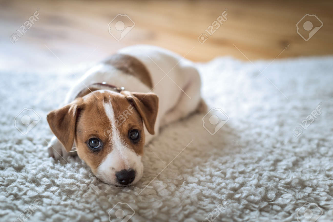 jack russel puppy on white carpet - 67651786
