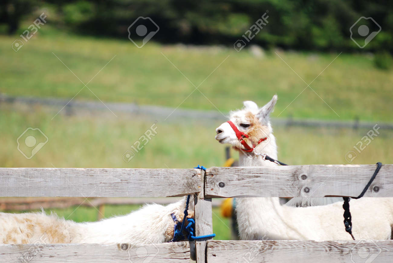 Lama Alpaca on a mountain farm Stock Photo - 3394362