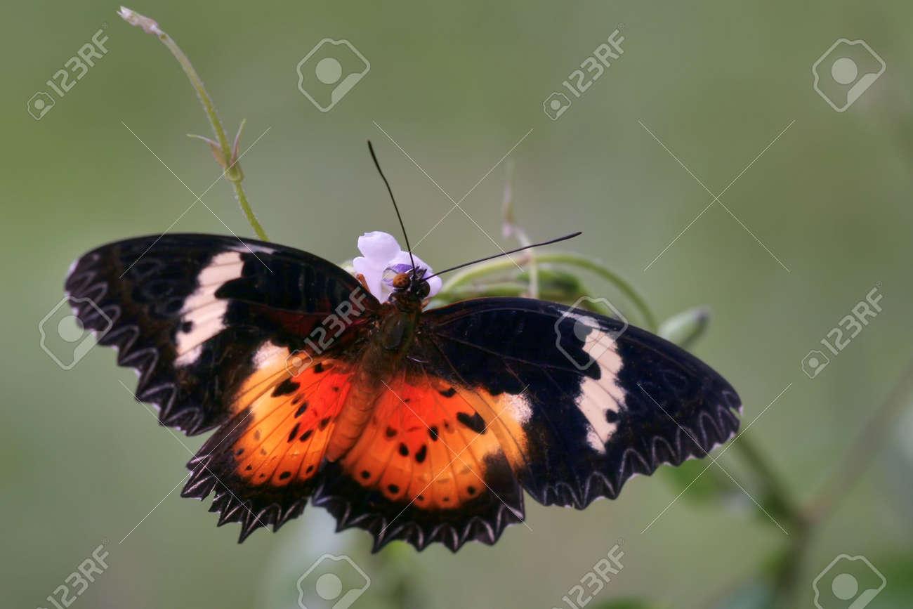 Cethosia cyane species gathering nectar, Tapas Hill, Malaysia Stock Photo - 1230176
