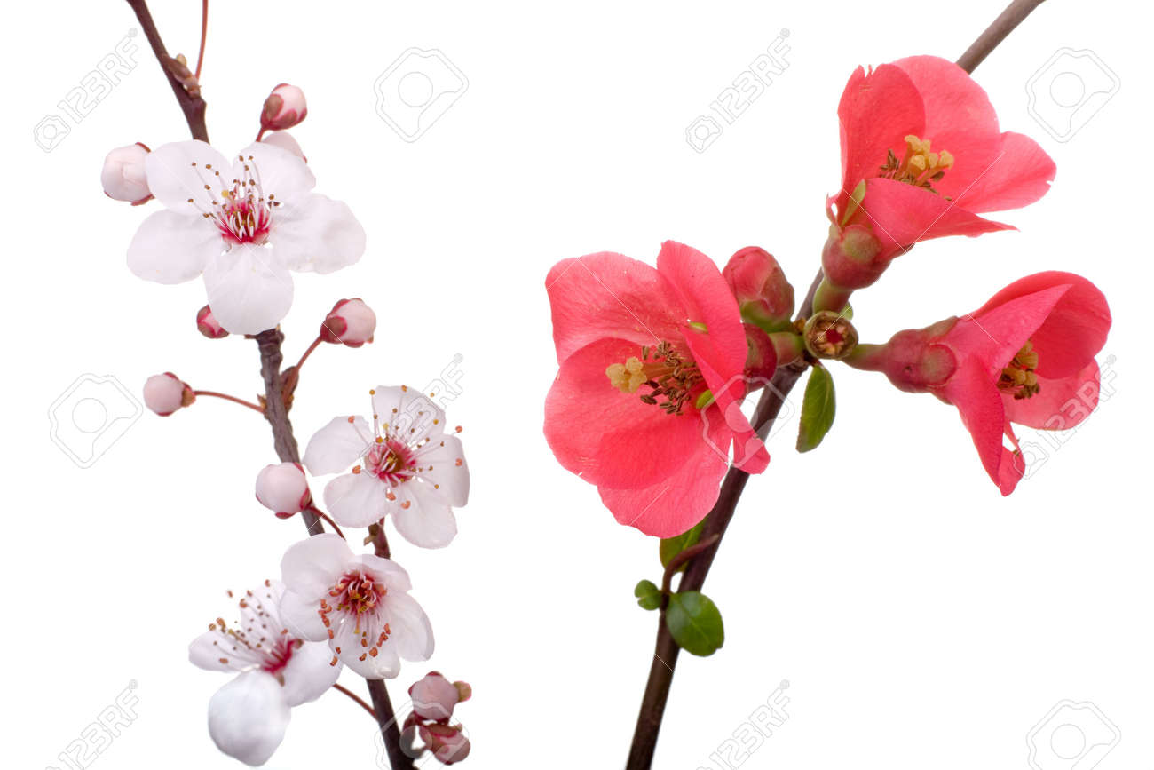red and pink fruit-tree flowers isolated on white Stock Photo - 2533750