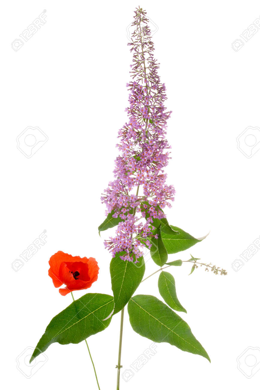 buddleia and poppy flowers isolated on white background Stock Photo - 3184416