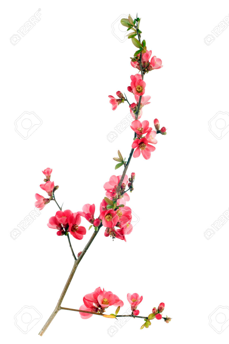 branch of japanese quince blossom at springtime Stock Photo - 4479671