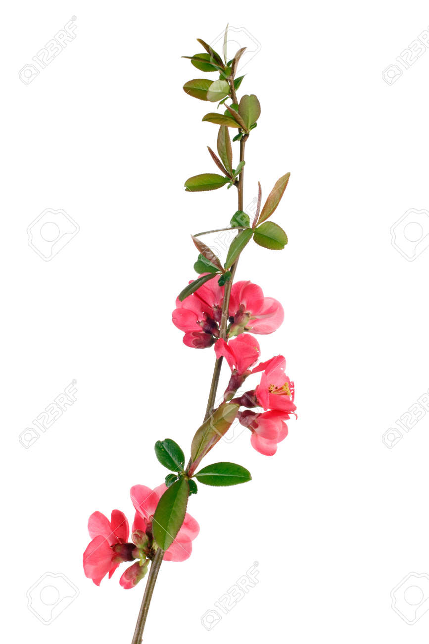 beautiful japanese quince branch blossom isolated on white Stock Photo - 4479672