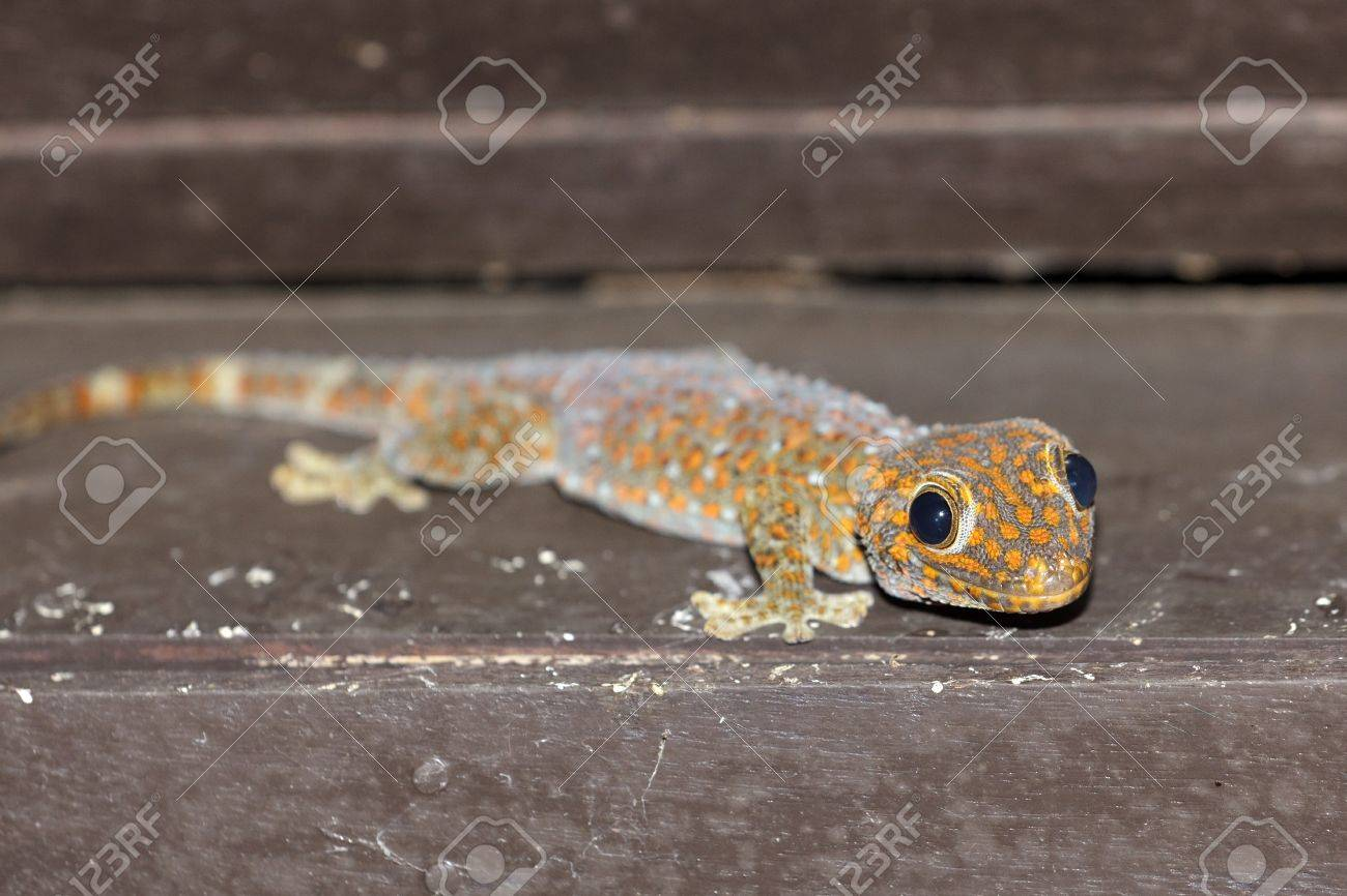 tropical tokay gecko under house roof at night, thailand stock