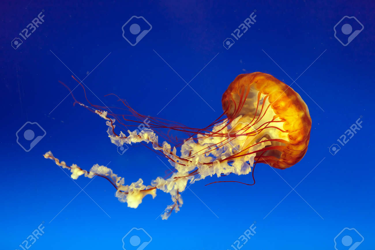 jellyfish images u0026 stock pictures royalty free jellyfish photos