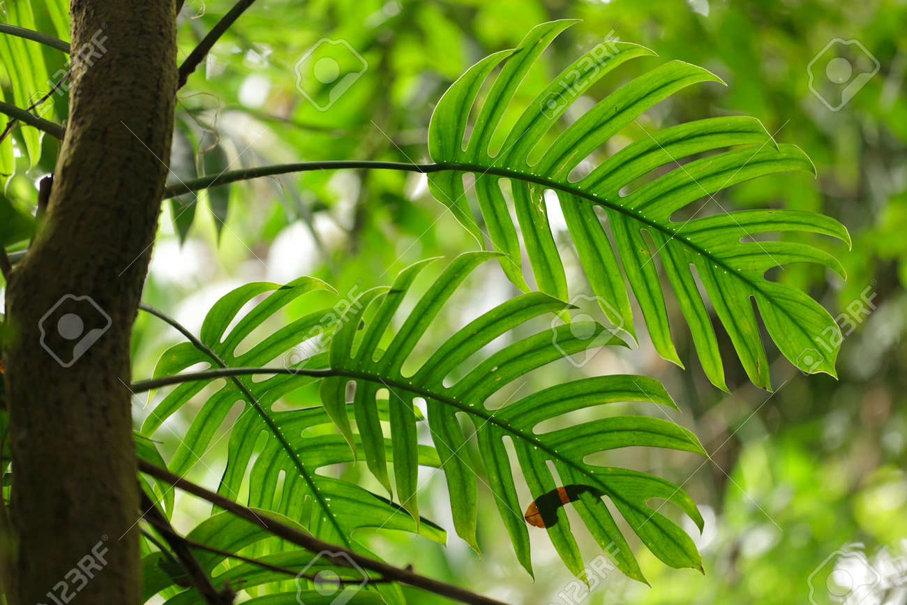 Philodendron Leaves In Tropical Rainforest Stock Photo, Picture ...