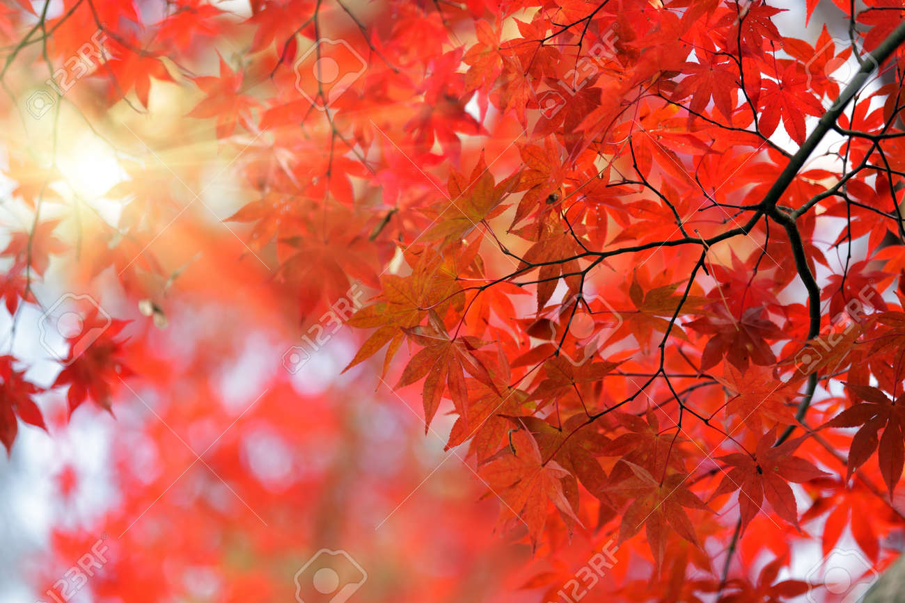 Japanese Red Maple Tree Background With Sunlight Kyoto Stock Photo