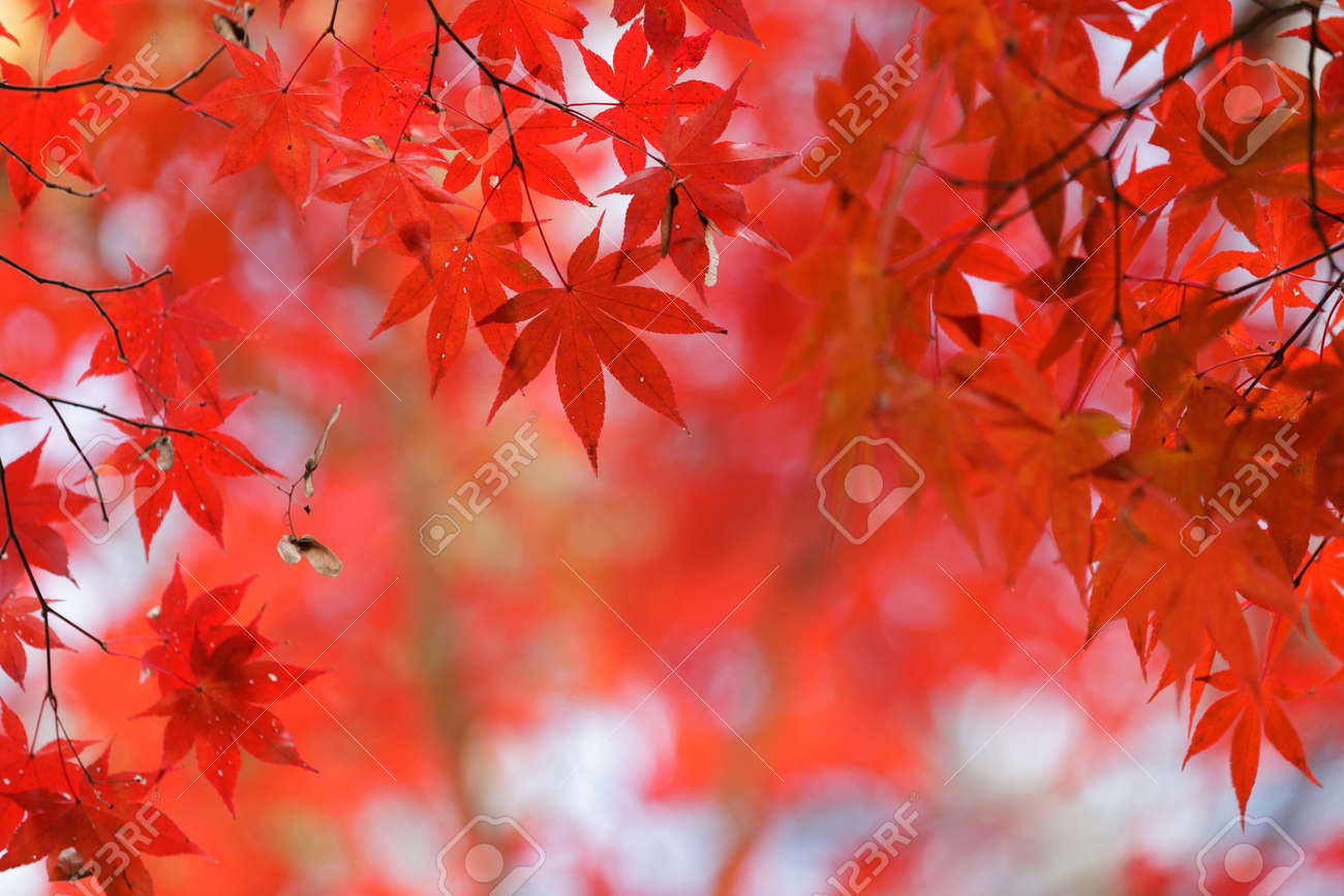 japanese red maple tree background during fall season, Kyoto, Japan Stock Photo - 12946341
