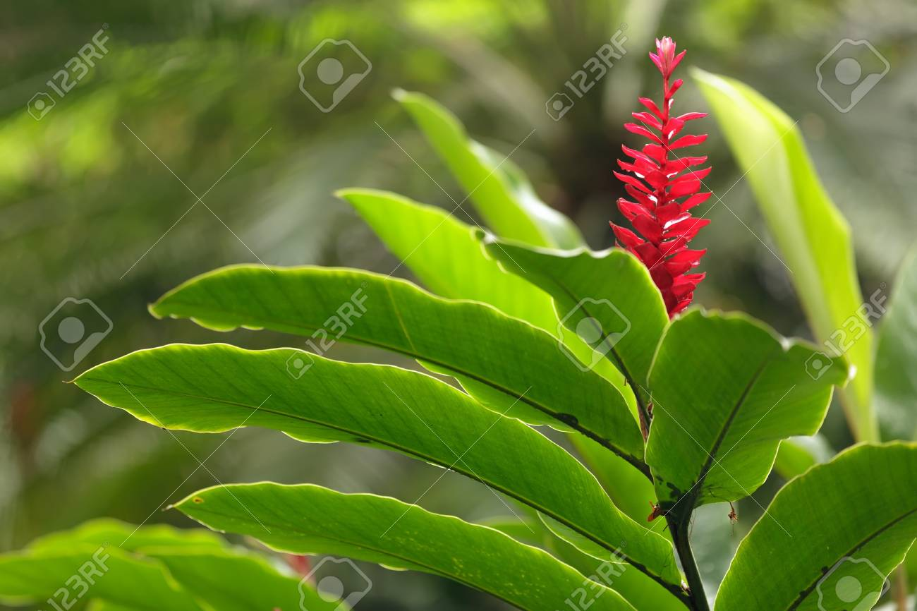 red ginger flower in tropical park, Thailand Stock Photo - 13695187