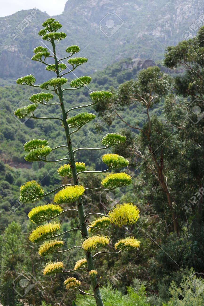 Fleur D Agave Dans Le Paysage Mediterraneen Banque D Images Et