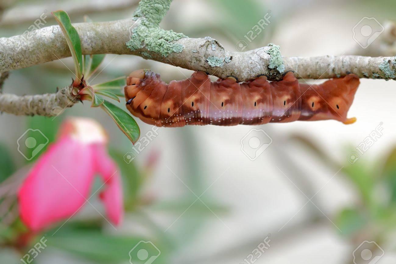 Daphnis Nerii butterfly caterpillar on desert rose plant, Thailand Stock Photo - 17180526