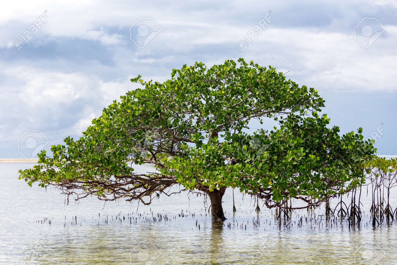 Beautiful Mangrove Tree Growing On The Seashore Standing Submerged ...