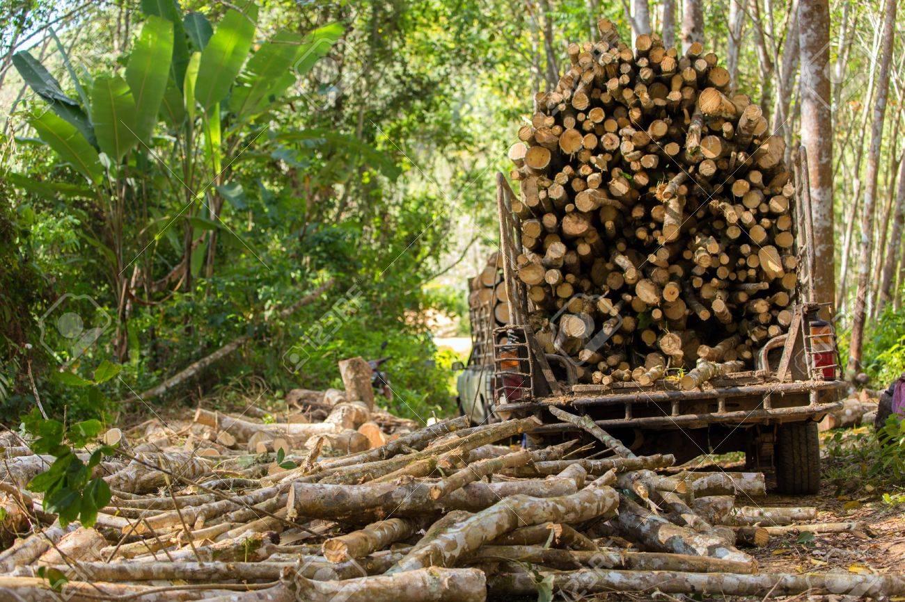 Gummibaum Der Forstwirtschaft Den Baum Fur Eine Industrielle