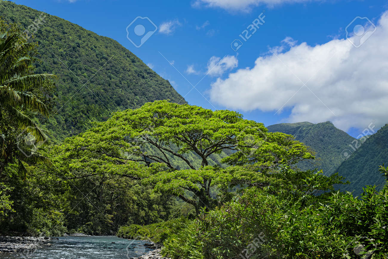 Vaina De Mono Árbol Por El Río Waipio En Una Selva Tropical En El ...
