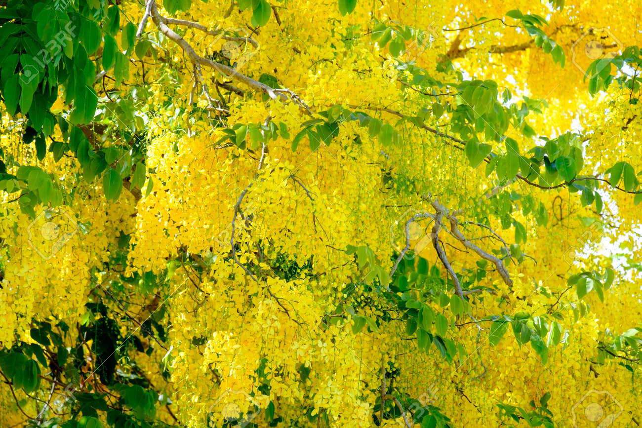 Golden Shower flowers are blooming in full of trees Stock Photo - 91747208