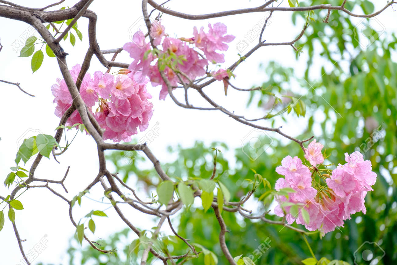 Pink trumpet flowers are blooming in full of trees stock photo pink trumpet flowers are blooming in full of trees stock photo 93412824 mightylinksfo