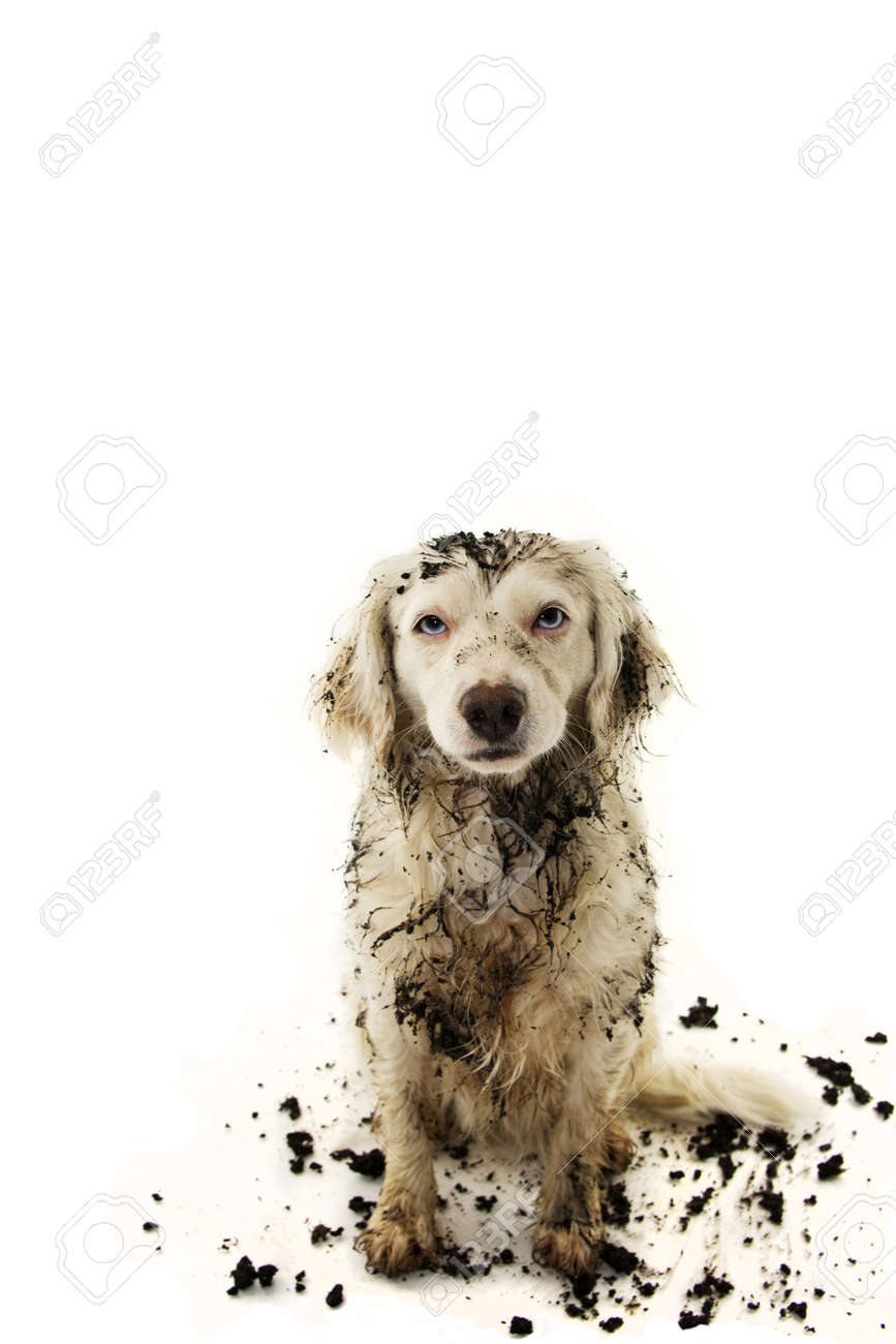 DIRTY DOG AFTER PLAY IN A MUD PUDDLE. ISOLATED STUDIO SHOT ON WHITE BACKGROUND. - 156644600