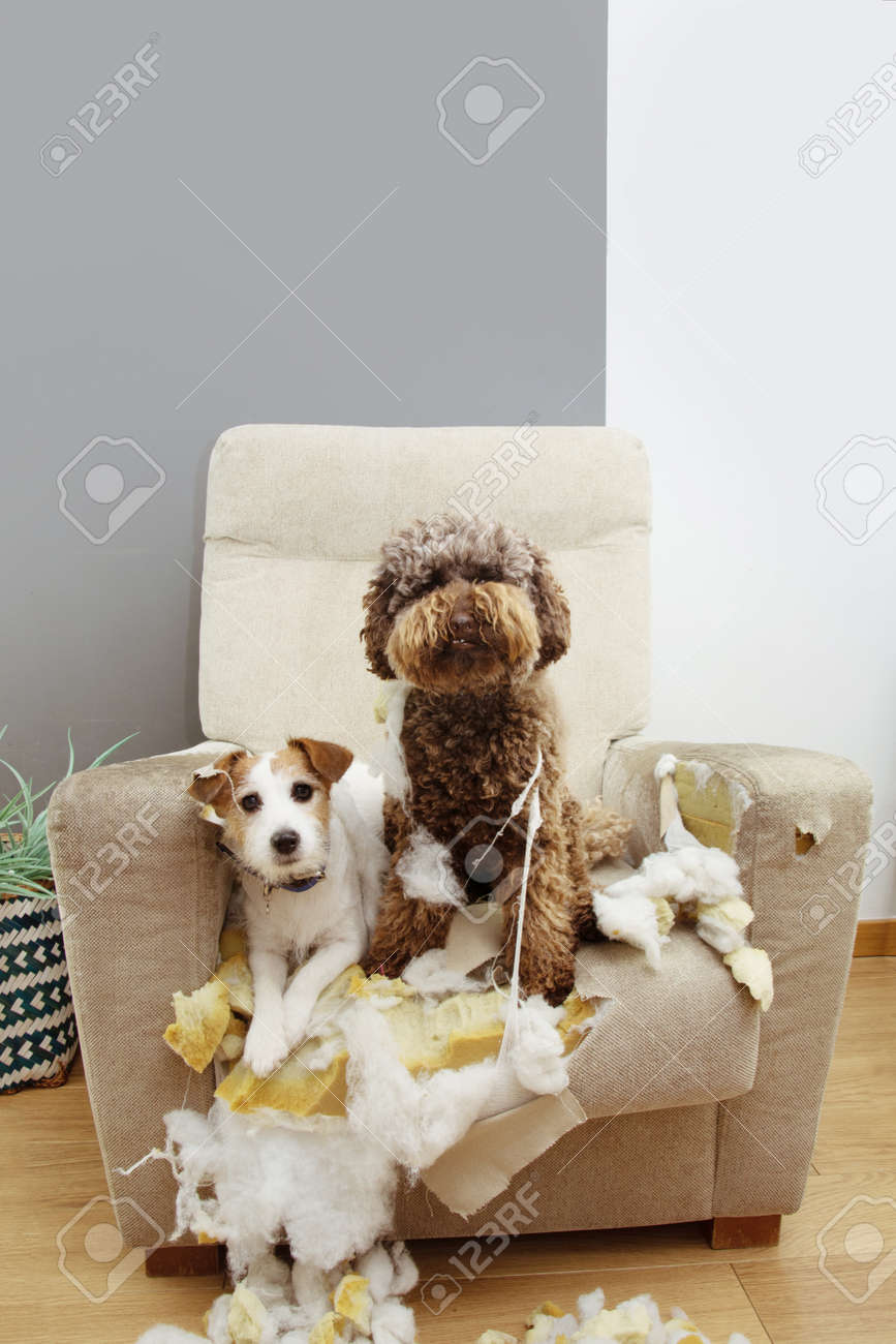 Two guilty dogs after bite and destroy a sofa with innocent expression. - 156906938