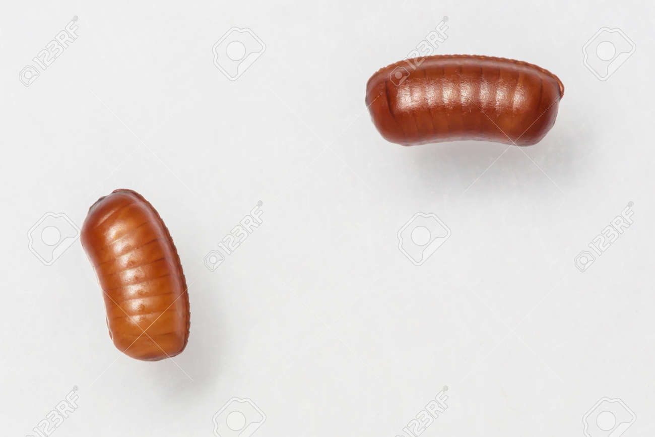 Smooth cockroach - Symploce pallens egg sacks isolated on white Stock Photo - 18098286