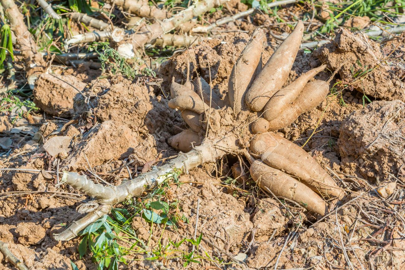 Haitianos roban cosechas de yuca en la frontera por Dajabón. - Informe Real