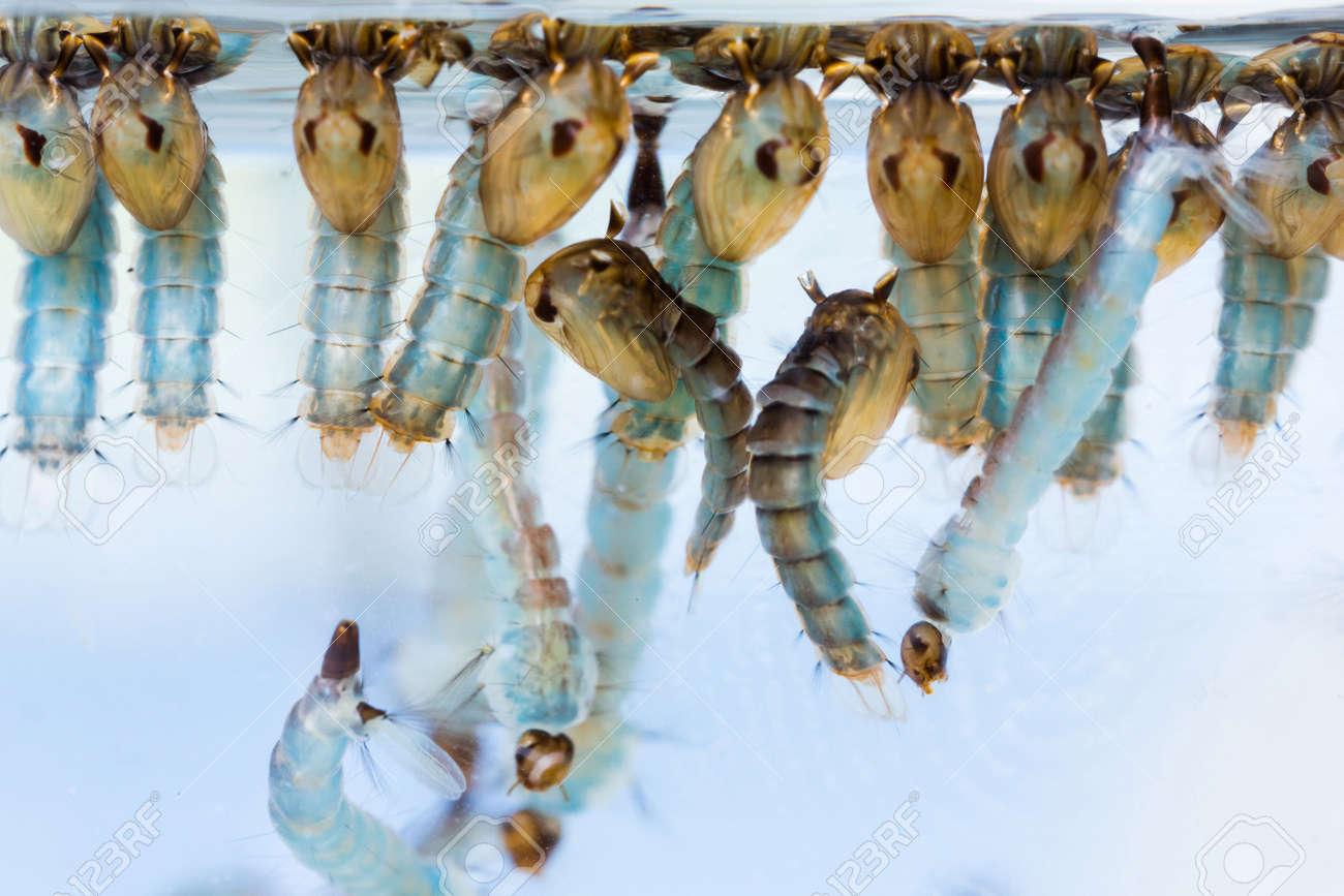 Close up mosquito pupae and larvae underwater Stock Photo - 18955884