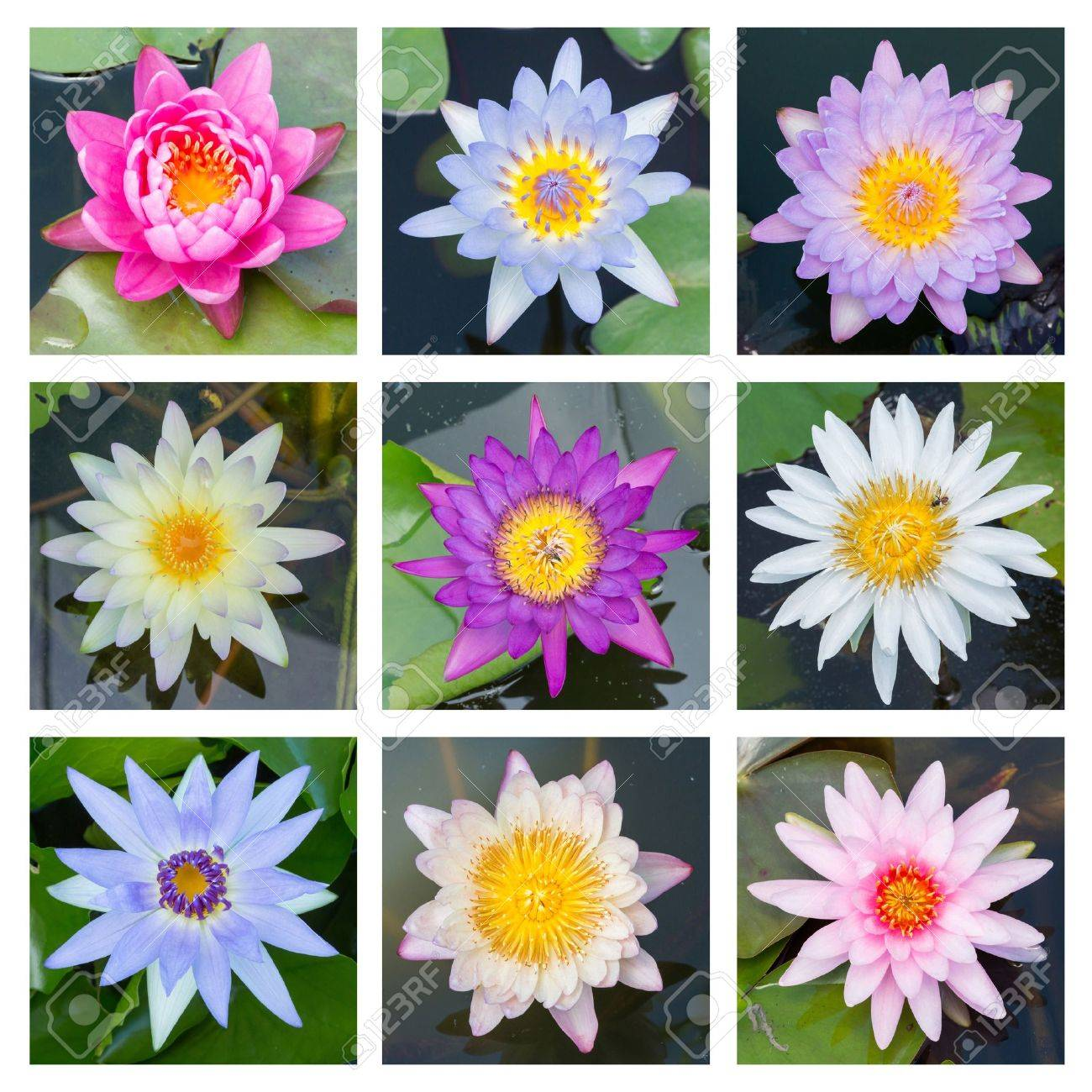 Close Up Multi Color Blooming Water Lily Or Lotus Flower Set