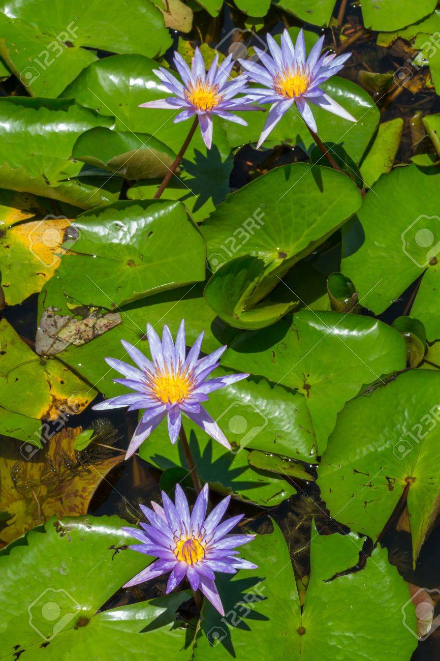 Close up colorful blooming water lily or lotus flower in pond Stock Photo - 19703847