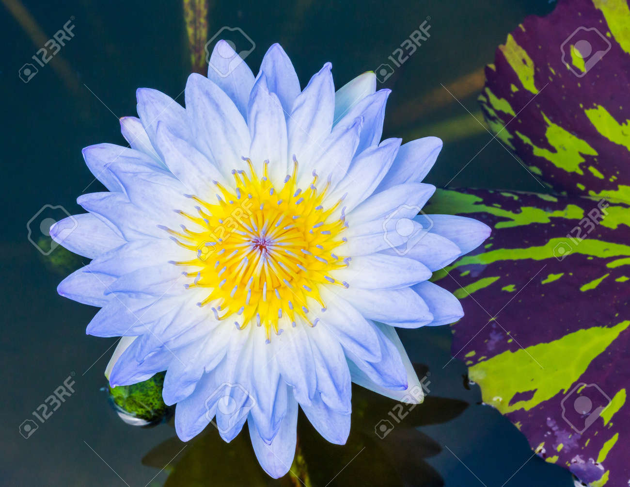 Close Up Light Blue Color Blooming Water Lily Or Lotus Flower
