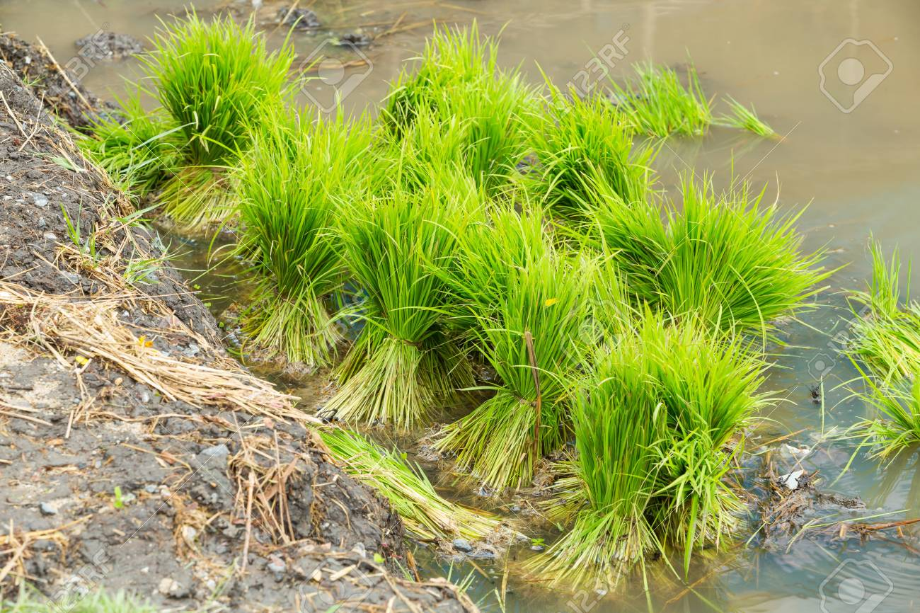 Close up rice seedlings in field from central of Thailand Stock Photo - 22075908