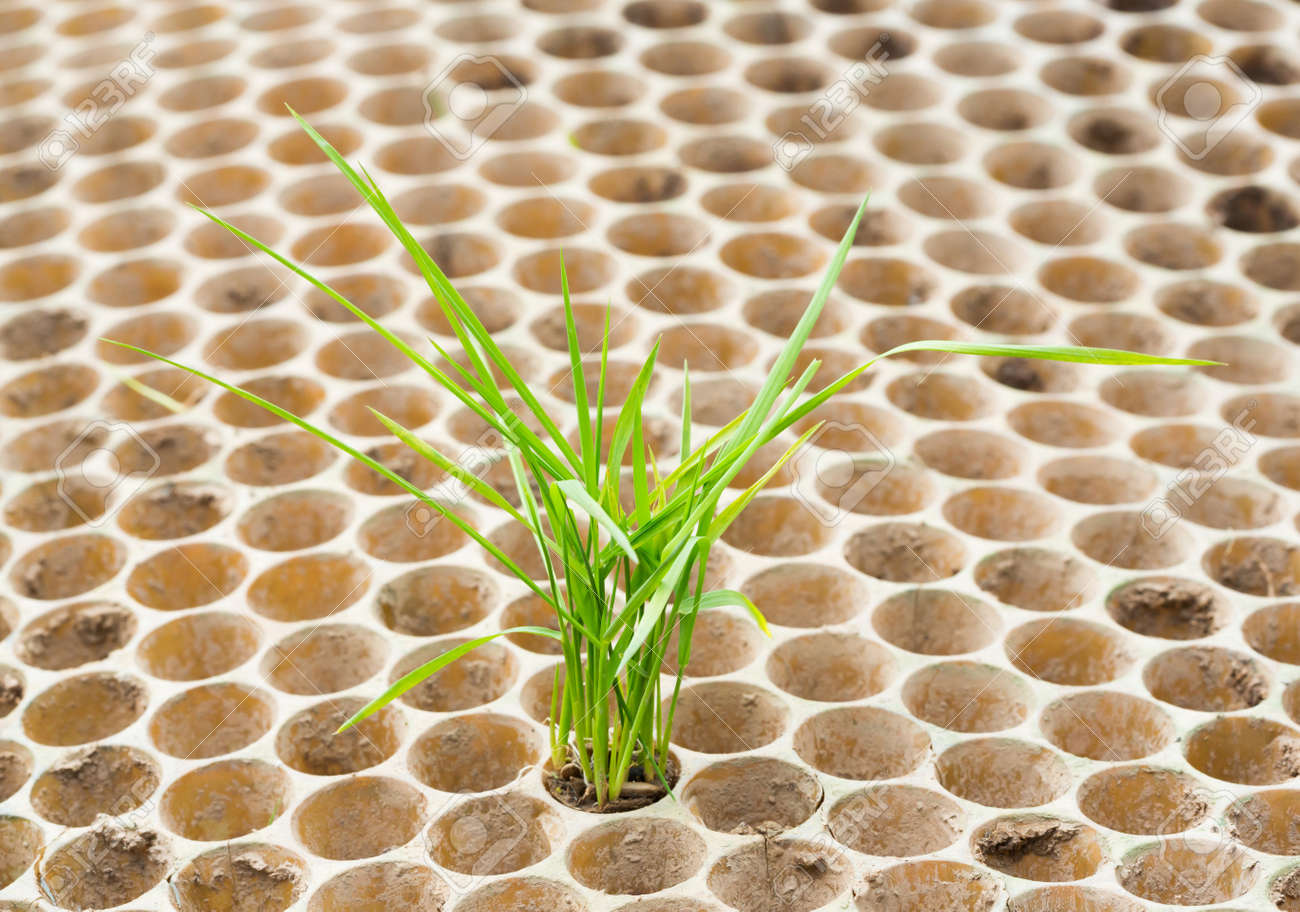 Close up rice seedlings in nursery tray Stock Photo - 22075911