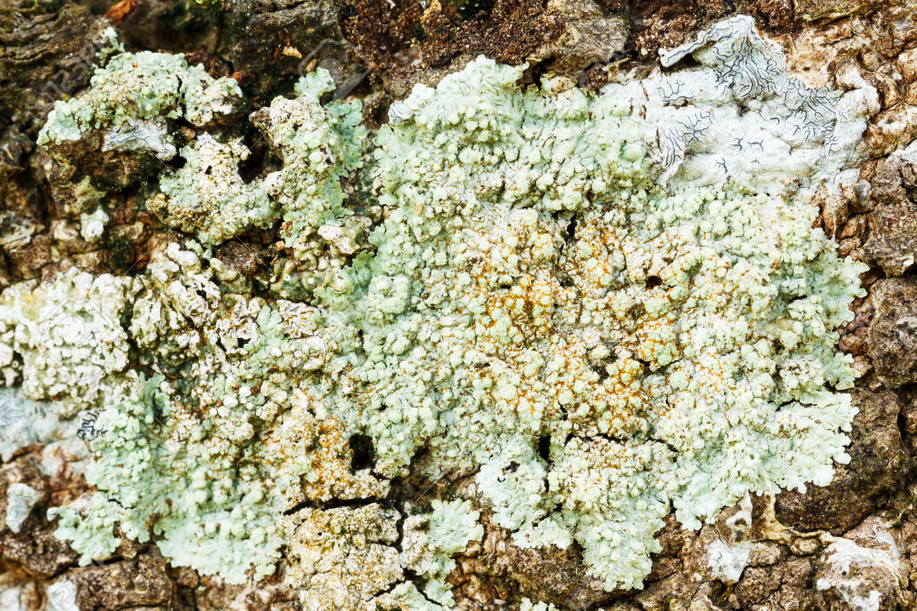 Close Up Light Green Color Lichen On Tree Bark In Forest Stock Photo ...