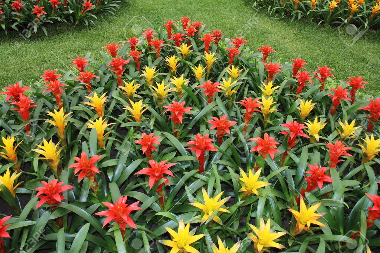 Yellow And Red Flowers Guzmania Beautiful Green Leaves Stock Photo