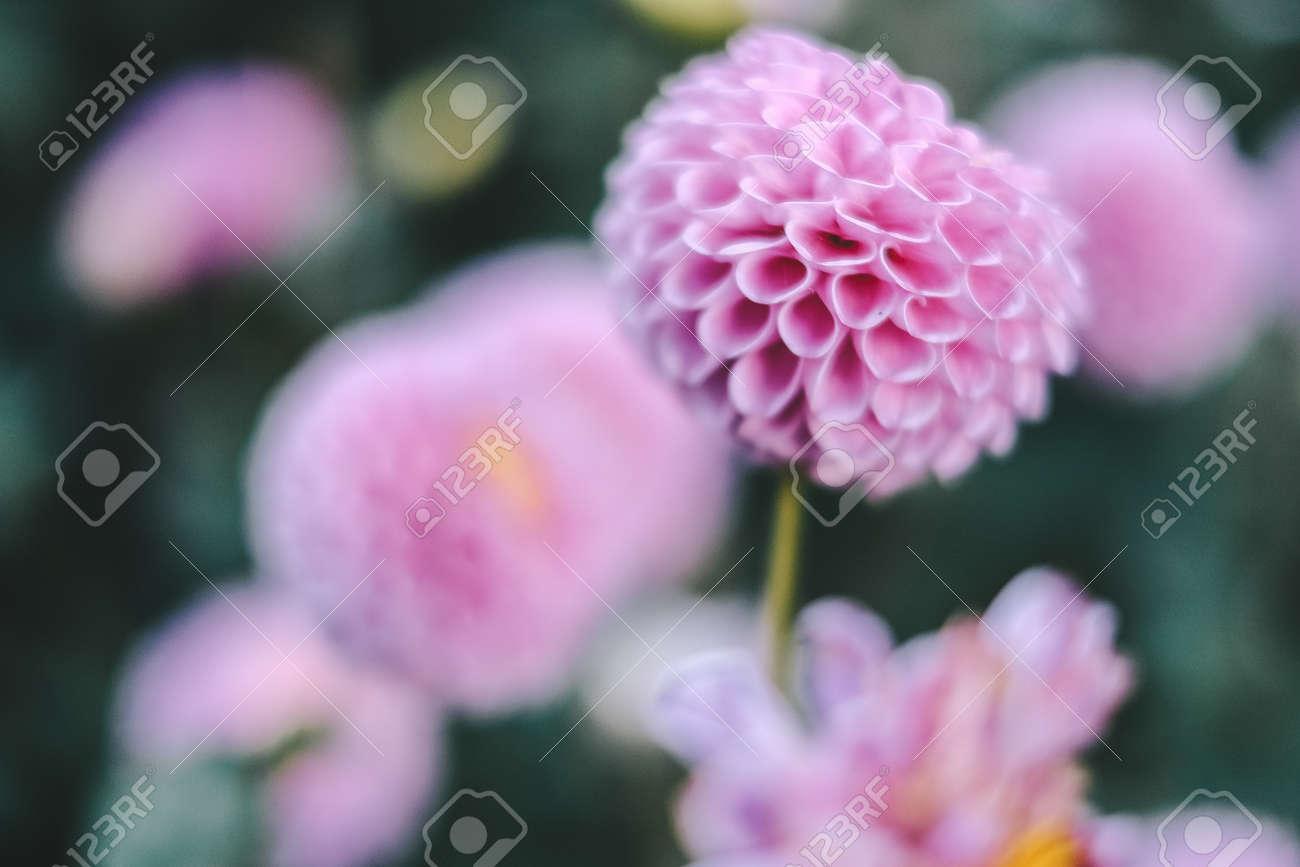 Pink Flowers In Full Bloom In The Garden Winter Flower Stock Photo