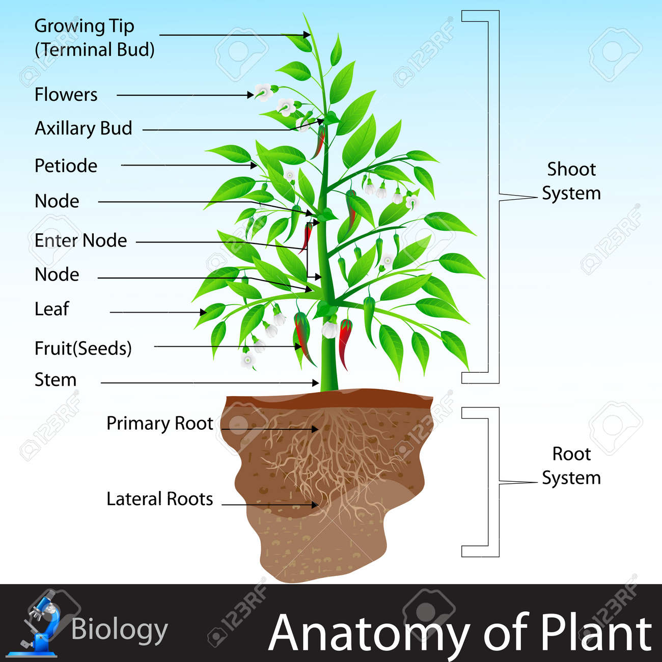 Anatomy Of Plant Royalty Free Cliparts, Vectors, And Stock ...