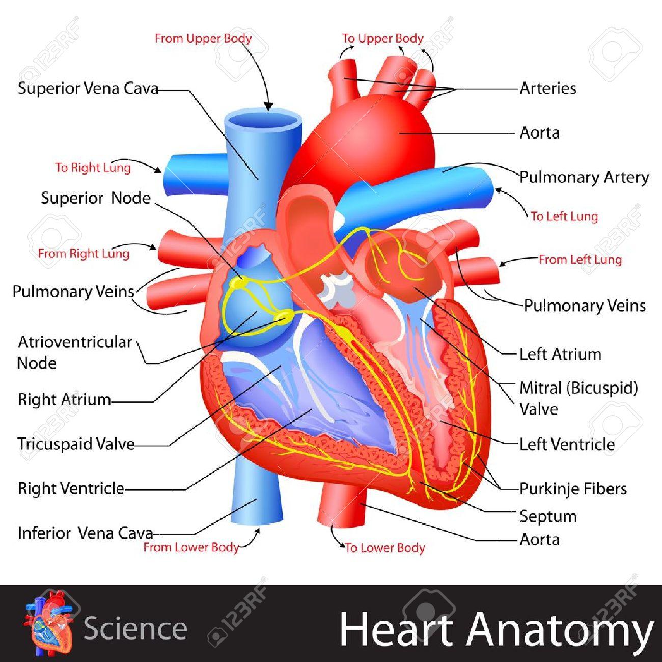 Anatomía Del Corazón Ilustraciones Vectoriales, Clip Art Vectorizado ...