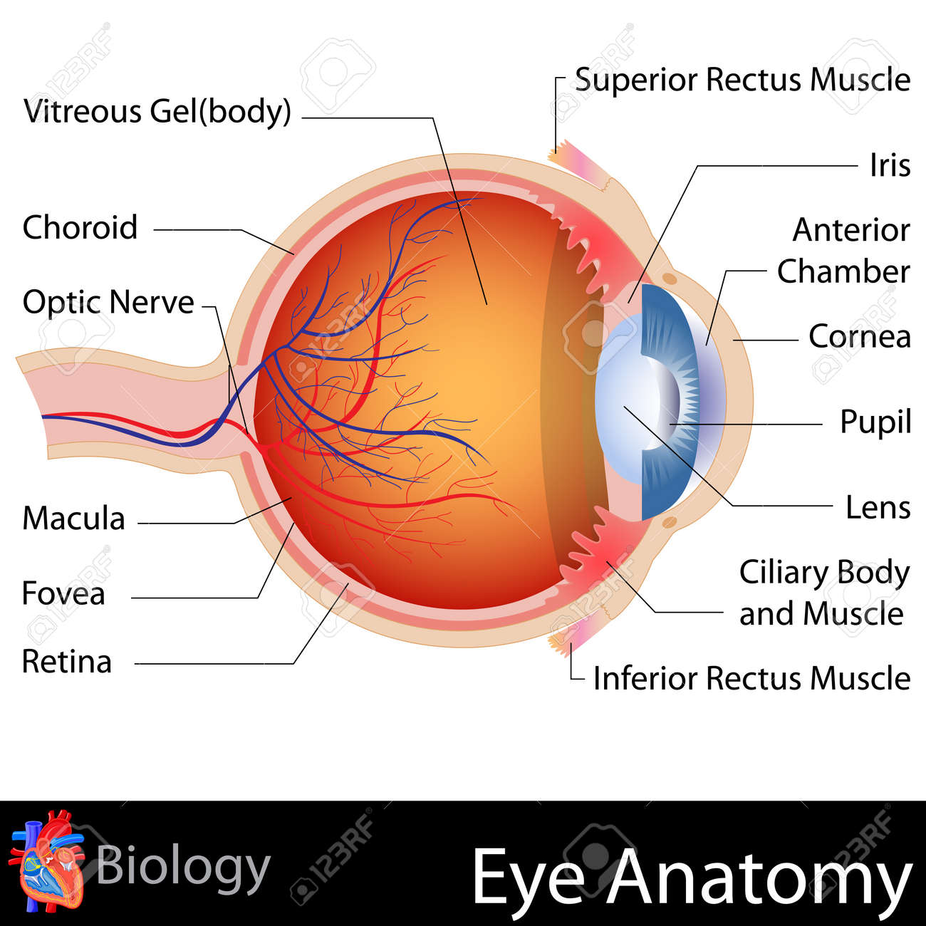 Anatomy Of Eye Royalty Free Cliparts, Vectors, And Stock ...