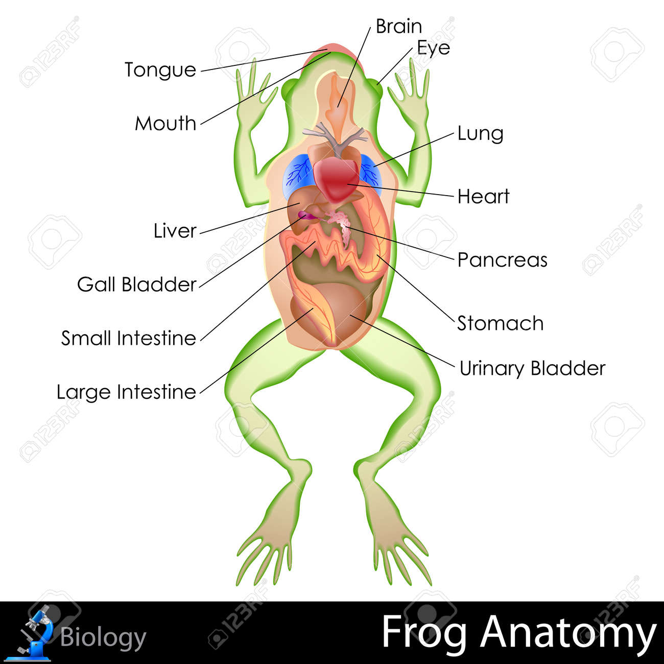 Frog Anatomy Royalty Free Cliparts, Vectors, And Stock Illustration ...