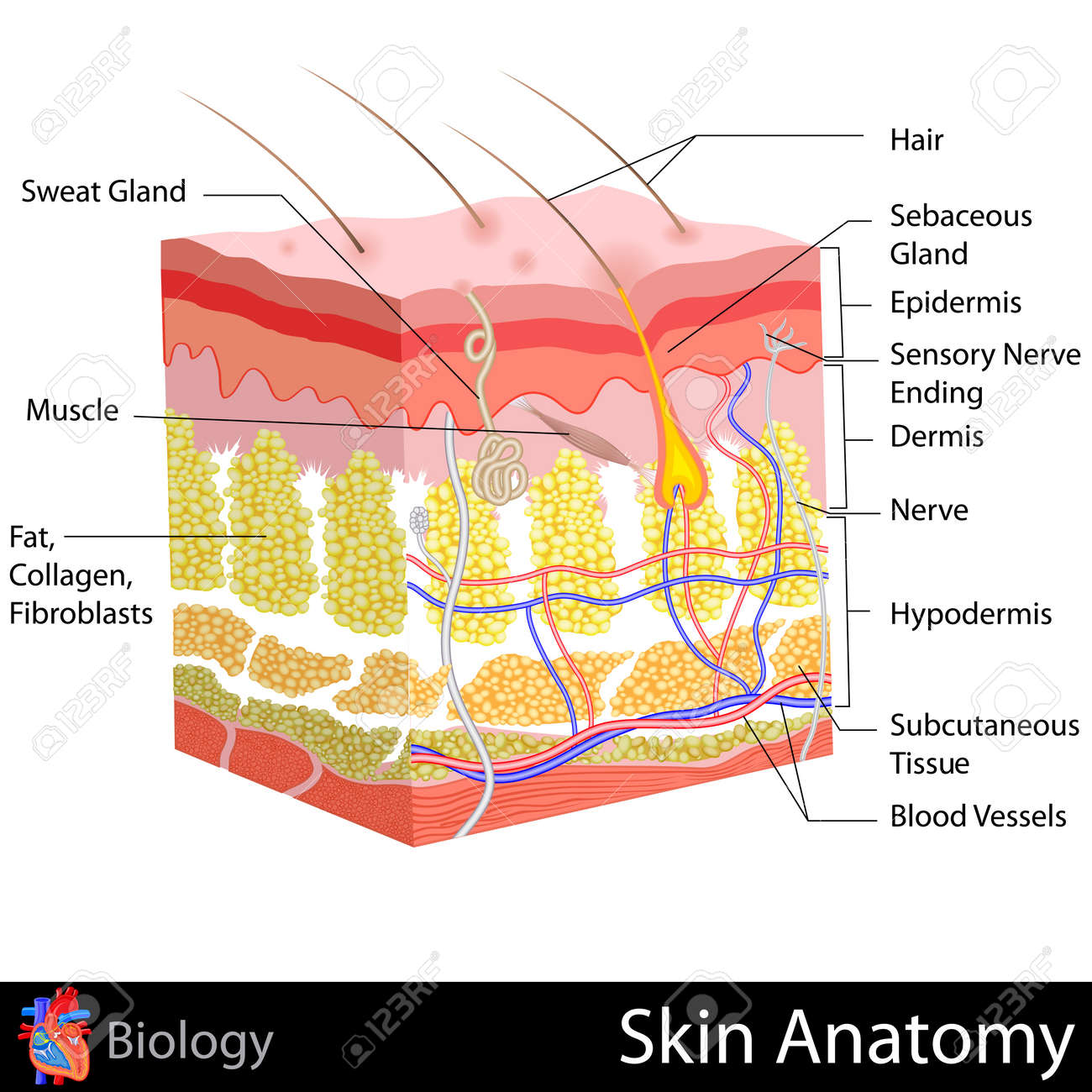 Skin Anatomy Royalty Free Cliparts, Vectors, And Stock Illustration ...