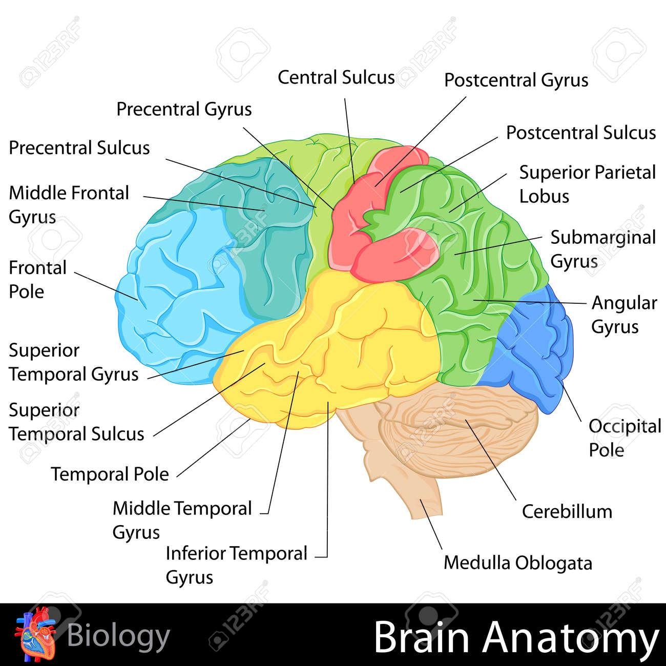 Anatomía Del Cerebro Ilustraciones Vectoriales, Clip Art Vectorizado ...