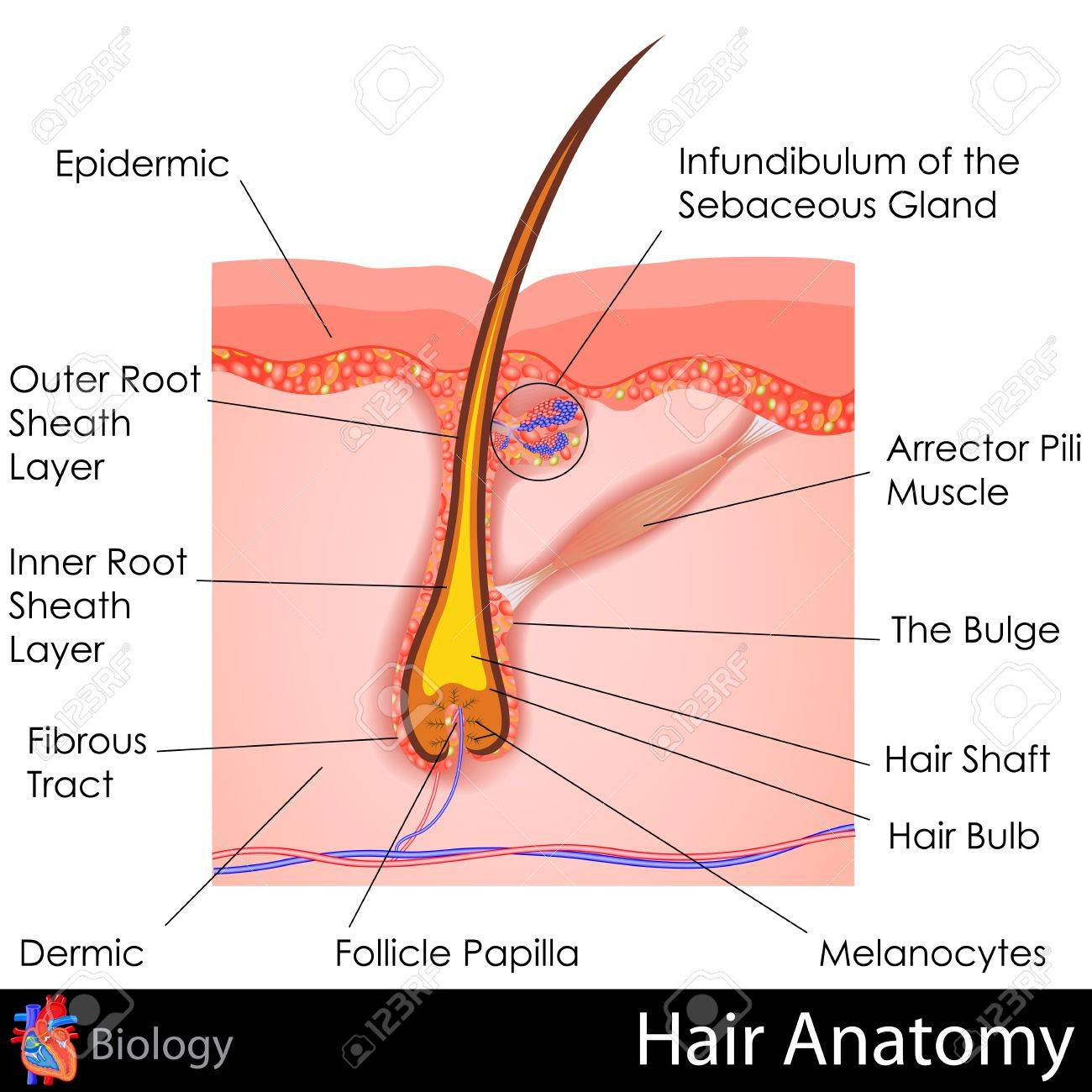 Hair Anatomy Stock Photo, Picture And Royalty Free Image. Image ...