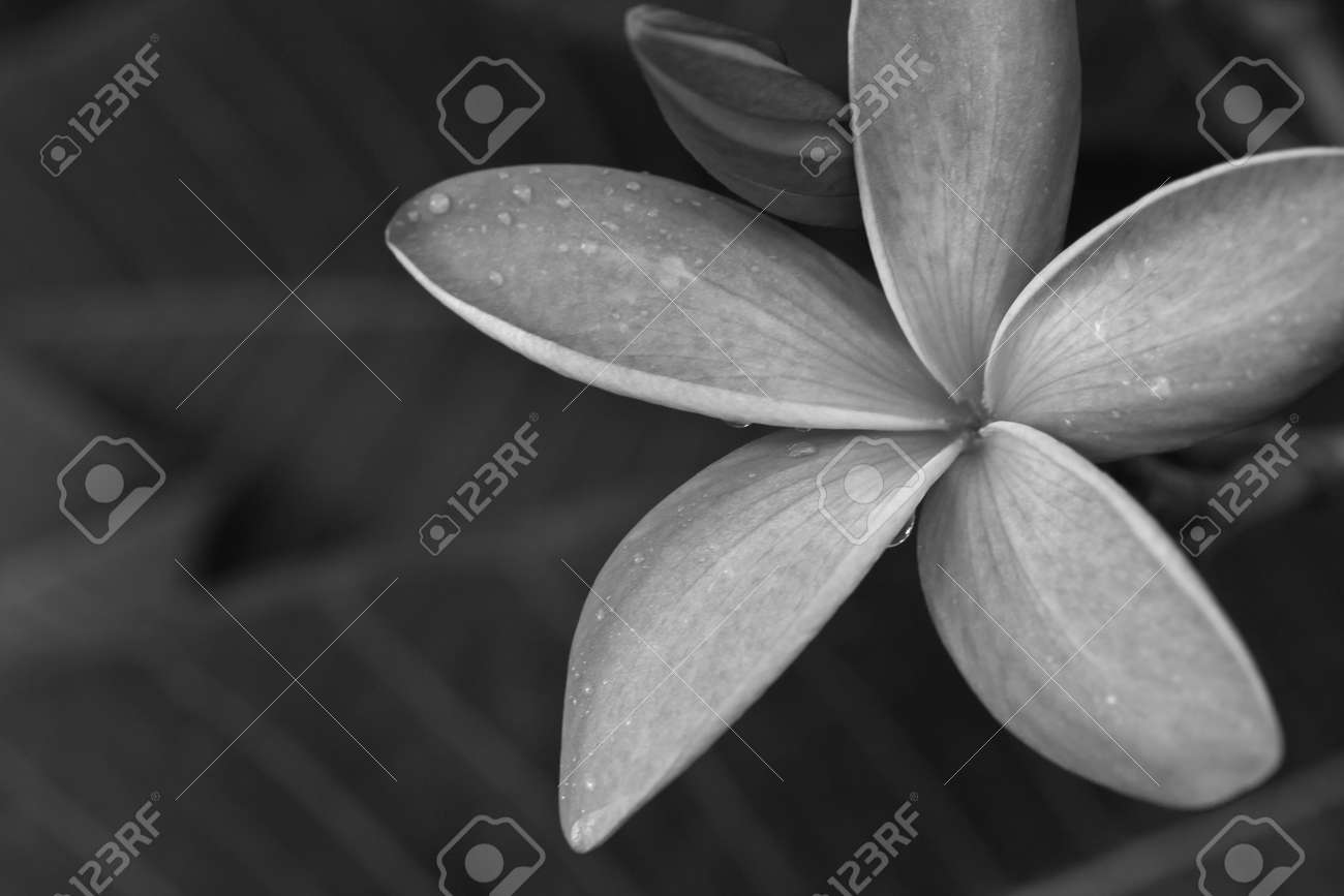 black and white tropical flowers frangipani (plumeria) Stock Photo - 14076285