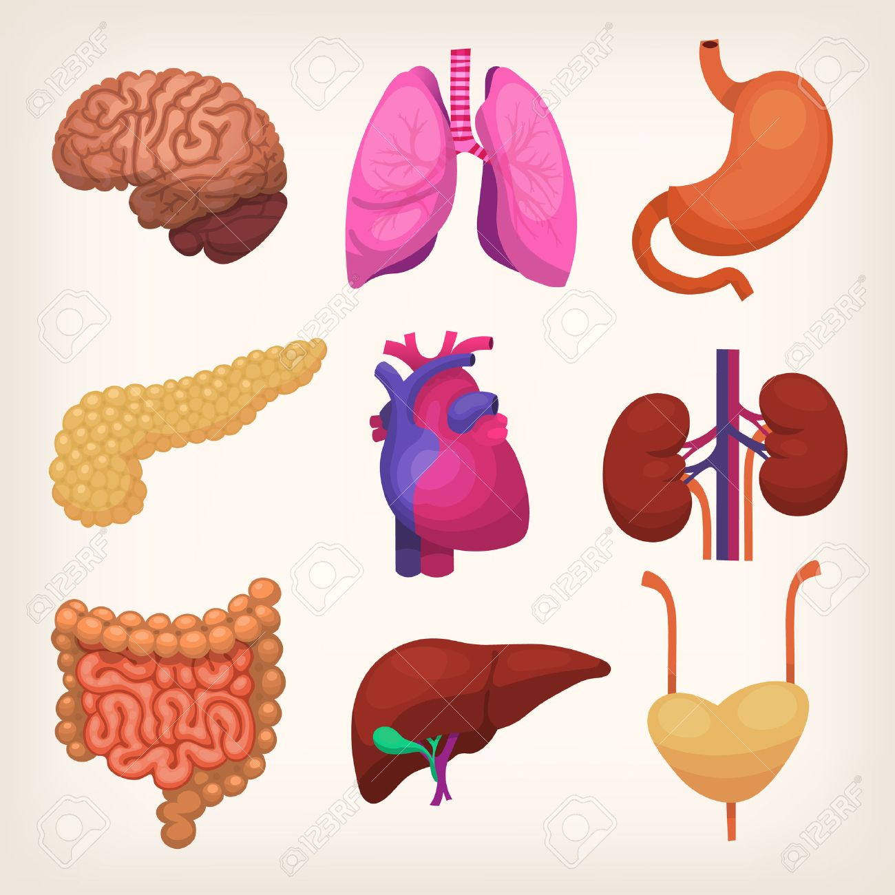 Set Of Colorful Realistic Human Body Organs Royalty Free Cliparts ...