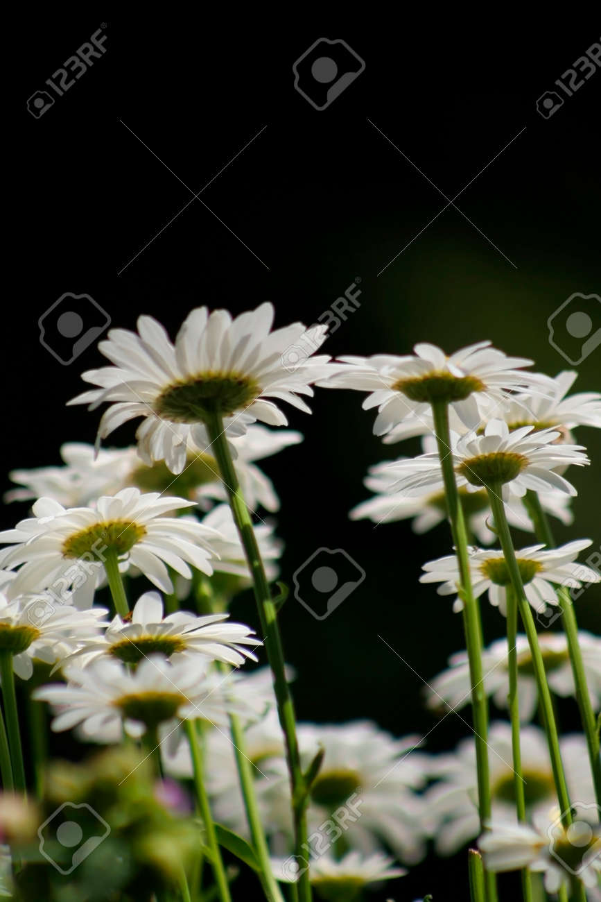 Bright white daisy flowers on black background Stock Photo - 1366312
