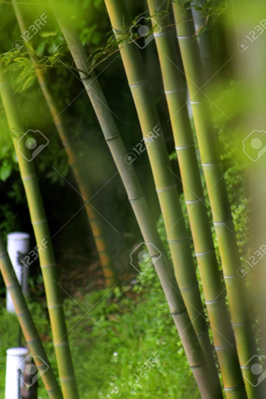 Shallow Depth Of Field Of Bamboo Trees Stock Photo Picture And