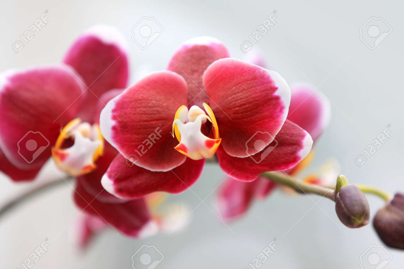 Fresh red orchid flowers on a branch Stock Photo - 9914352